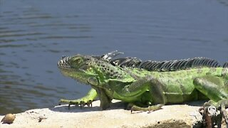 Ocean Ridge has great success with iguana control program