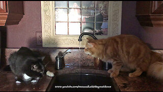 Funny Cats Love To Drink Water From The Tap