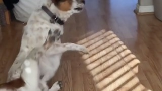 Dog turns too fast and falls over while playing with owner - Video