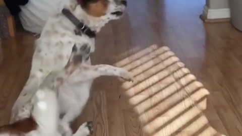 Dog turns too fast and falls over while playing with owner
