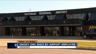 Snowy owl shot by airport employee - Video