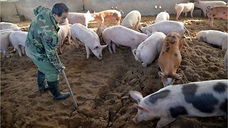 Chinese Pork Producers Struggle To Contain African Swine Fever Outbreak