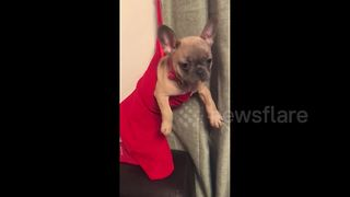 Cute Frenchie gets warm in a stocking