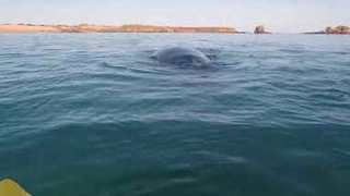 Lucky Kayaker Has Mesmerizing Encounter With Humpback Whales - Video