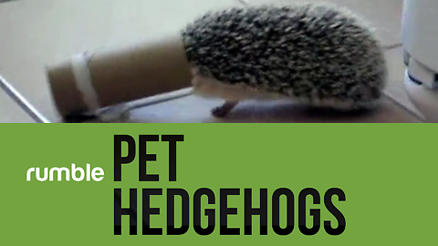 This compilation of pet hedgehogs will make you reconsider your next pet choice!