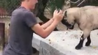 Playful Goat Enjoys Head-Butting With His Favorite Human - Video