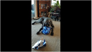 Great Dane happily opens Christmas present