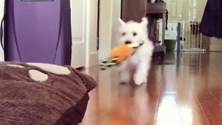 Small white dog with carrot charges his bed - Video