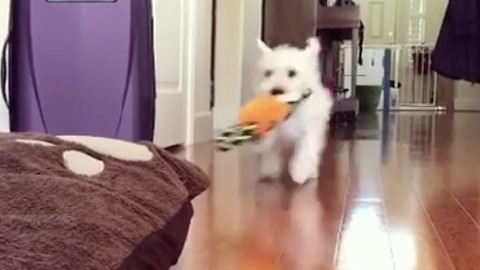 Small white dog with carrot charges his bed