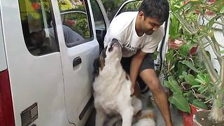 St. Bernard makes it difficult to clean van - Video