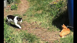 A domestic kitten met a village cat for the first time