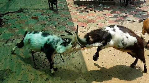 Excited goats headbutt each other after eating ice cream