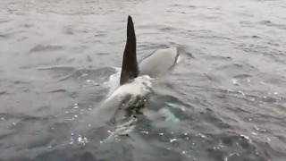 Orcas Put On Display in the Shetlands - Video