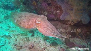 Cuttlefish changing colors to match their surroundings will mesmerize you - Video