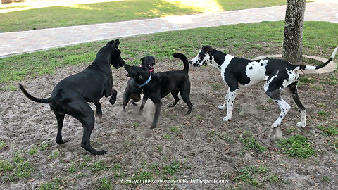Great Dane and Puppy Have Fun Kicking up Dirt with Dog Friends