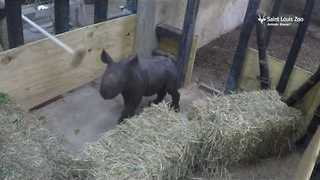 Saint Louis Zoo Weighs Baby Rhino - Video
