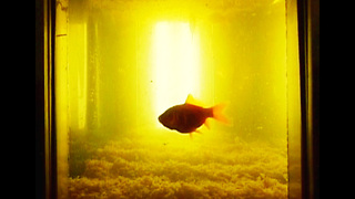 Goldfish Live In Deep Fat Fryer - Video