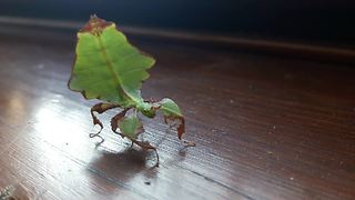 Take A Look As This Praying Mantis Shows Off Its Dance Moves