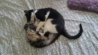 Cat vs. Kitten in Cutest Battle of the Century - Video