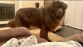Needy Newfoundland acts out for attention