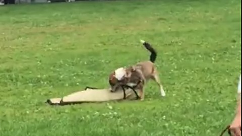 Playful Puppy Steals Picnic Mat Thinking It's A Toy