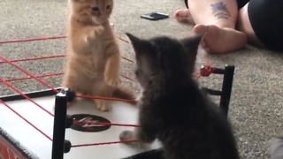 Adorable Kittens Play In A Boxing Ring - Video