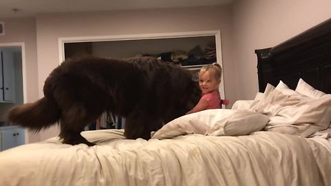 Newfoundland And A Little Girl Up For A Pillow Fight