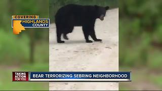 Black bear terrorizes Sebring neighborhood - Video