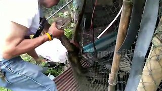 Python Rescued after getting caught in chicken wire