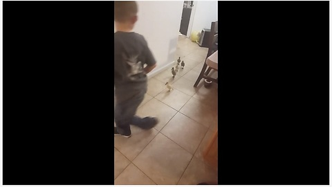 Ducklings follow little boy around the house