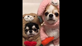 Chihuahuas dress up in super adorable outfits - Video