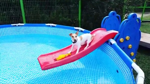 Jack Russell plays on water slide, falls into pool