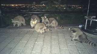 This Family Of Raccoons Will Do Anything For Popcorn - Video