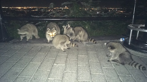 This Family Of Raccoons Will Do Anything For Popcorn