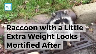 Raccoon with a Little Extra Weight Looks Mortified After Sewer Grate Doesn't Fit Him Like It Used to