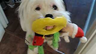 Dog Gives A Toothy Grin While Holding Bunch Of Toys In Mouth