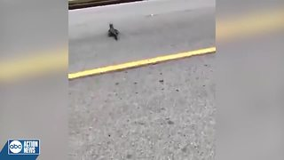 Baby gator crosses street with help of Polk Co. deputy - Video