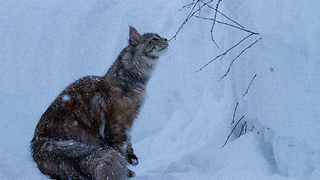 Slow motion majestically captures Maine Coons playing in the snow - Video