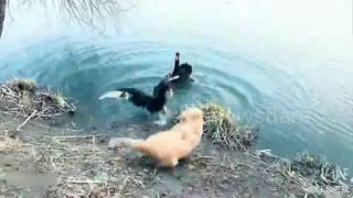 Mother swan protects its babies from pesky dogs - Video