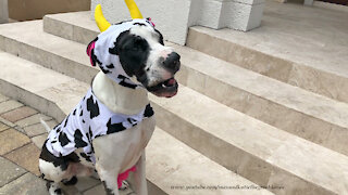 Great Dane's funny first attempt at wearing a Halloween costume