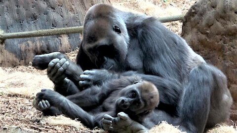 Mother gorilla tenderly cuddles and grooms her baby