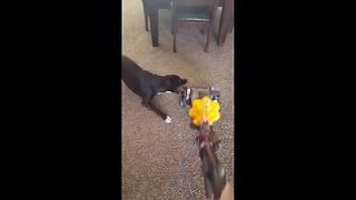 Dog tries to attack vacuum cleaner - Video