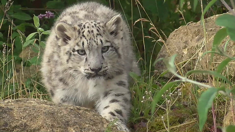 Snow Leopard cubs practice stalking technique on mom