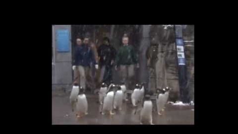 Pittsburgh Zoo Penguins Won't Let Anything 'Snow' on Their Parade