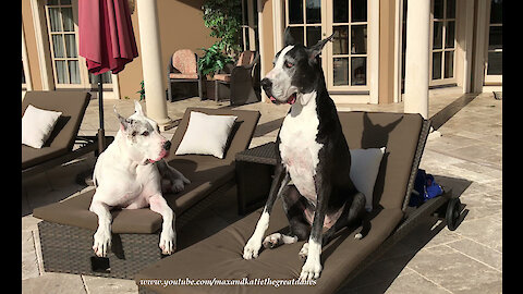 Max and Katie the Great Danes Love Lounging by the Pool