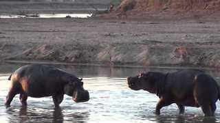 Footage of a Hippo Watering Hole in Zambia - Video