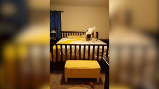 Large Dog Rolls Off The Bed - Video