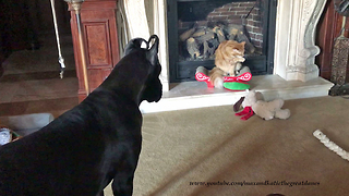 Cat Ignores Playful Great Dane Puppy with Heart Shaped Ears