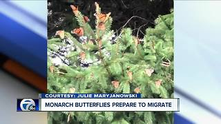 Monarch Butterflies migrate through Western New York - Video