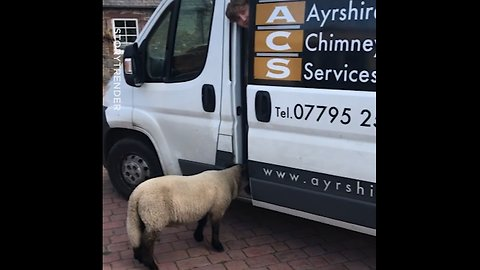 Think our sheep has a thing for the heating engineer